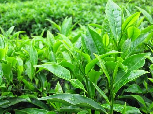 Mua trà tại những nơi trực tiếp sản xuất sẽ có được giá cả tốt nhất