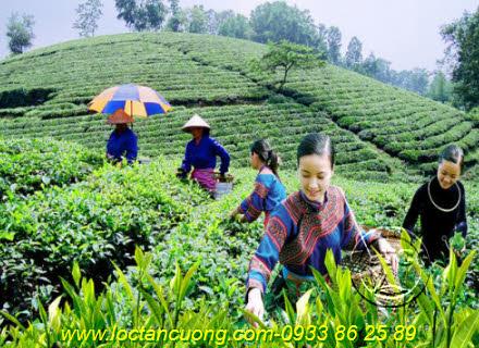 Người dân hái trà Thái Nguyên