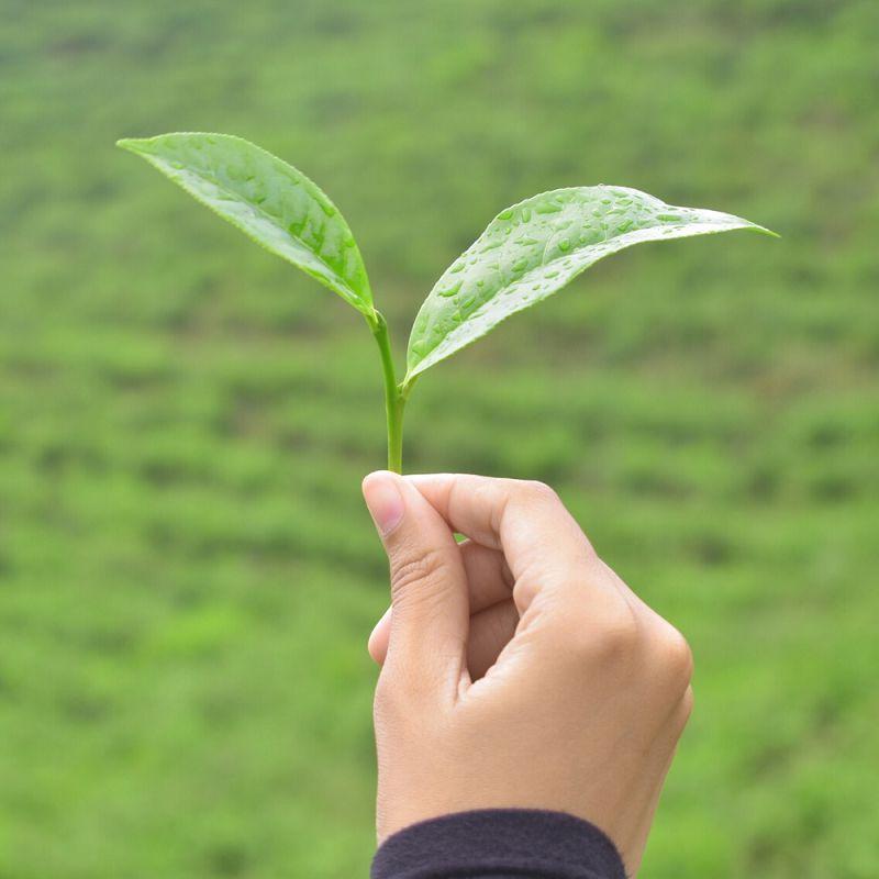 Nguyên liệu làm nên trà nõn tôm Tân Cương Thái Nguyên